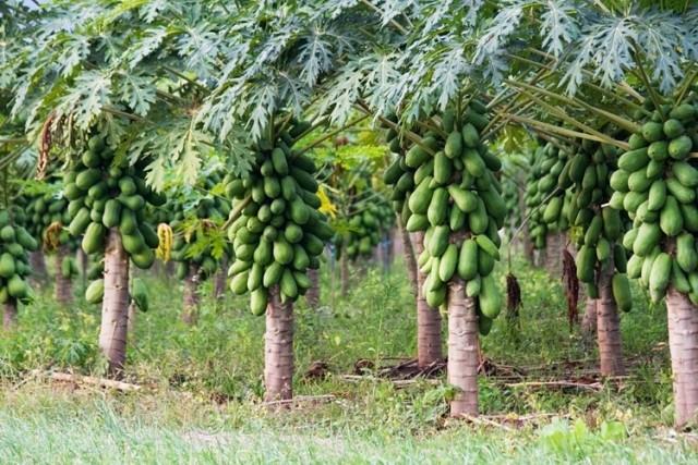 Campi di papaya