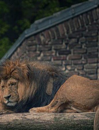 In questa foto un leone del parco nazionale